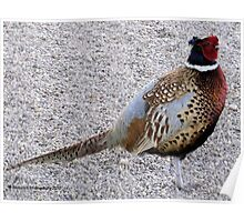 Pheasant - Plump and Pretty Poster