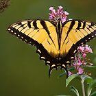 Eastern Tiger Swallowtail by Joe Elliott