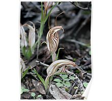 Long-tongued Shell Orchid (Diplodium dolichochilum - formerly Pterostylis dolichochila)  Poster