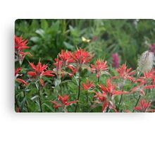 Castilleja, commonly known as Indian paintbrush or prairie-fire Metal Print