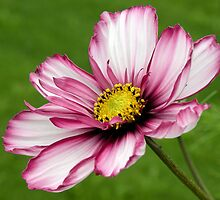 White and Pink Daisy by quirkydame