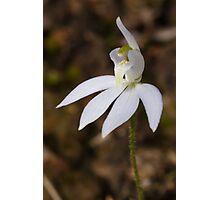 Uncommon white form of Blue Caladenia - Cyanicula caerulea  Photographic Print