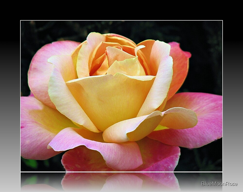A Rose of Many Colours by BlueMoonRose