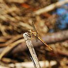 Brown Dragonfly on Twig  by jojobob