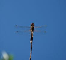 Dragonfly on a Twig  by jojobob