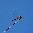 Dragonfly on Twig  by jojobob