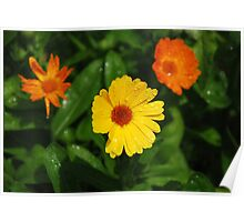 English Marigolds with Raindrops  Poster
