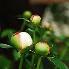 White Peony Buds  by jojobob
