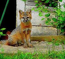 Gray Fox Kit by Cliff Wilson