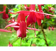 Fuchsia - Red & elegant flower Photographic Print