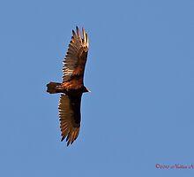 Turkey vulture by Nuttee Ratanapiseth