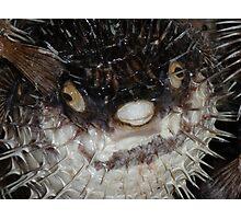 Unhappy Puffer Fish Photographic Print