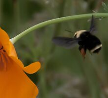 Bumble Bee #2 by don thomas