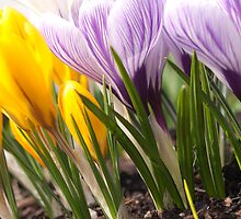 Crocuses by Darren Spidell