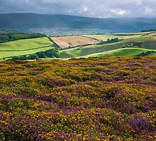 Heather and Gorse - Selworthy Beacon, Exmoor, Somerset, England by Craig Joiner