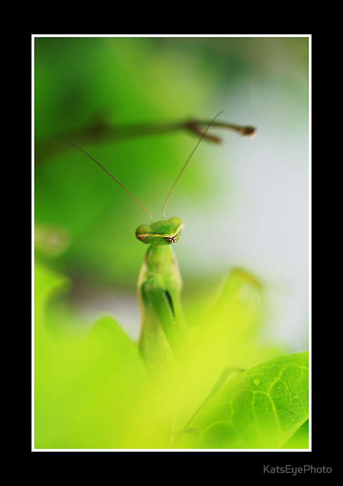 Praying Mantis w/border by KatsEyePhoto