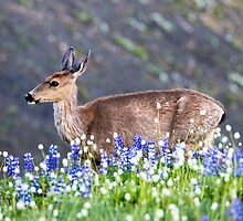 Blacktail Doe  by Jim Stiles
