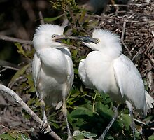 Baby Cattle Egrets in the Nest by Bonnie T.  Barry
