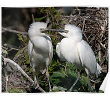 Baby Cattle Egrets in the Nest Poster
