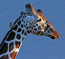 Samburu Giraffe by Jennifer Sumpton