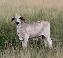 YOUNG BRAHMAN BULL by TomBaumker