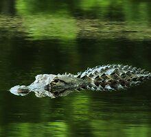 American Alligator by KatsEyePhoto