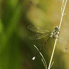 Dragonfly by KatsEyePhoto