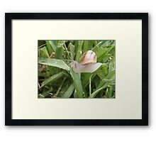 In search of food - Local Garden Snail Framed Print