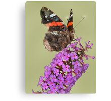 Thursty Red Admiral Canvas Print