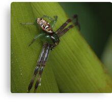 African mask crab spider Canvas Print