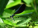 Ebony Jewelwinged Damselfly by Marcia Rubin