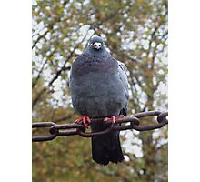 Pigeon on a chain Photographic Print