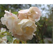Rain droplets on roses Photographic Print