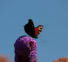 Peacock Butterfly on Buddleia by Jon Lees