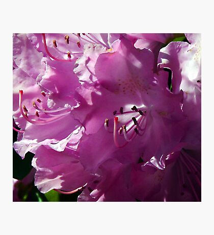 Precious and Pink Photographic Print