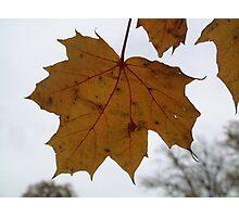 Yellow Maple Leaf Photographic Print