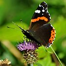 Red admiral . by Russell Couch