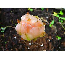 Cactus Flower Bud Photographic Print