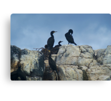 A Family of Cormorants..... Canvas Print