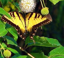 Two-Tailed Tiger Swallowtail by DottieDees