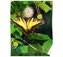 Two-Tailed Tiger Swallowtail Poster