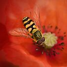 Hoverfly on Poppy by Mandy Disher