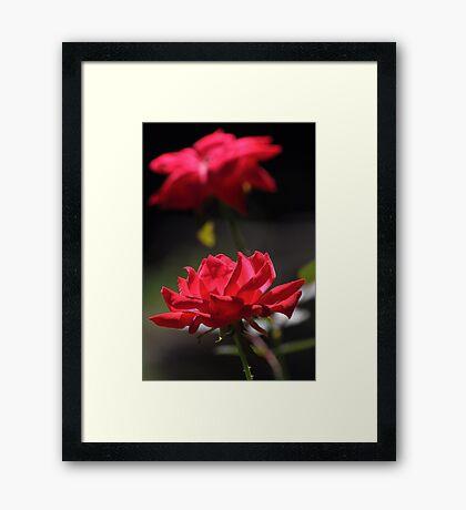 Knockout rose flowers Framed Print
