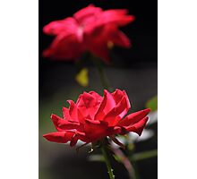 Knockout rose flowers Photographic Print