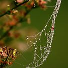 Dew Drops by love2shoot