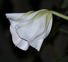 Moon Flower by Featherbrush