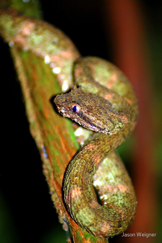 Eyelash Viper (Bothriechis schlegelii) -  Costa Rica by Jason Weigner