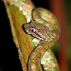 Eyelash Viper (Bothriechis schlegelii) -  Costa Rica by Jason Weigner