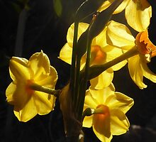 Backlit Jonquils with winter Sunshine!  'Arilka' by Rita Blom