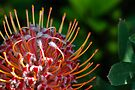 protea iv by gary roberts